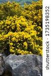 Bright Yellow Gorse Bush On The ...
