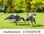 Canadian Geese In Mackinac...