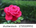 The Pink Rose In The Garden...