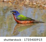Male Painted Bunting Casting A...