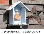 Starling Feeding On Hand Made...