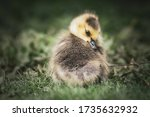 Goslings And Adult Geese...