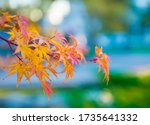 Japanese Maple Branch Close Up. ...