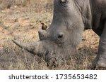 A White Rhino With Oxpecker....