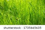 Fresh Green Grass Background....