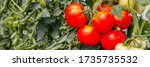 Red Ripe Tomato Fruits Grow In...