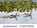 Two Canadian Geese And Their...