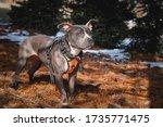 Gray Pit Bull Dog Wearing An...