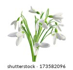 Spring Snowdrops Isolated On...
