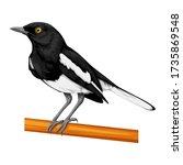 The Oriental Magpie Robin Bird...