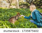 The Person Is Feeding Wallaby...