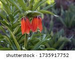 Garden Lily With Two Orange...