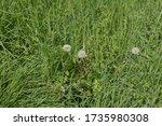 Seed Head Of A Dandelion Wild...