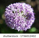 purple ornamental onion bloom...