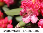 Bright Pink Rhododendron...