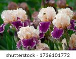 Close Up Of Purple Iris Flowers....