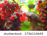 Beautiful Grapes Image. Bunches ...
