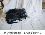 Black Shaggy Dogs Australian Silky Terrier Lying on a White Wedding Dress - stock photo