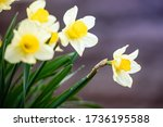 Daffodil Flowers In The Garden...