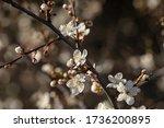Small photo of Mirabelle plum, mirabelle prune or cherry plum (Prunus domestica subsp. syriaca) flowering