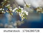 Flowering White Tree. Flowerin...