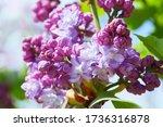 Lilac. Lilacs  Syringa Or...