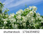 Jasmine Tree Blossoms Against...