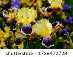 Bright Yellow And Purple Irises ...