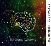 Serotonin Pathways In The Brai...