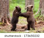 Two Brown Bear Cubs Play...