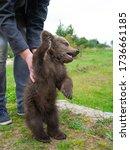 A Small Wild Bear Cub Plays...