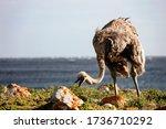 The African Ostrich Eats Grass...