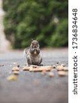A North American Grey Squirrel...