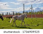 A Grey Speckled Horse Stands O...