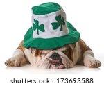 English Bulldog Wearing St...