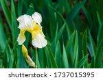 Iris Germanica Or Bearded Iris...