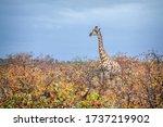 Giraffe Walking In Colourfull...