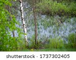 Thin Birch On The Background Of ...