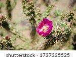 Beautiful Cholla Cactus...