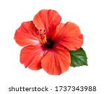 Bright large flower and leaf of ...