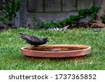 Starling Dribbling Water From ...