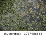 Swamp Plants In The Water....