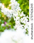 White Lilac Flowers On Bokeh...