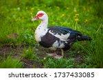 A Muscovy Duck Female Walking...