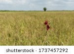 Solitary Red Flower In A Crop...