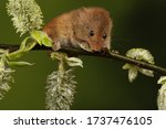 Harvest Mouse On Bracken And...