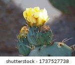 Prickly Pear Cactus Succulent...