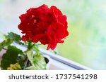 Red Geranium Flowers Growing On ...