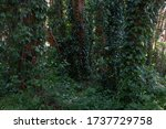 Small photo of Trees in Golden Gate Park rapt with ivy.