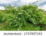 Elder Tree With Flower. Stock...